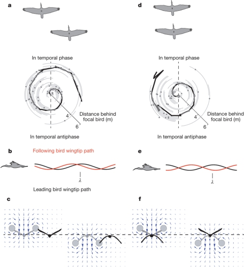 """Figure 3: Geometric and aerodynamic implications of observed spatial phase relationships for ibises flying in a V formation."""